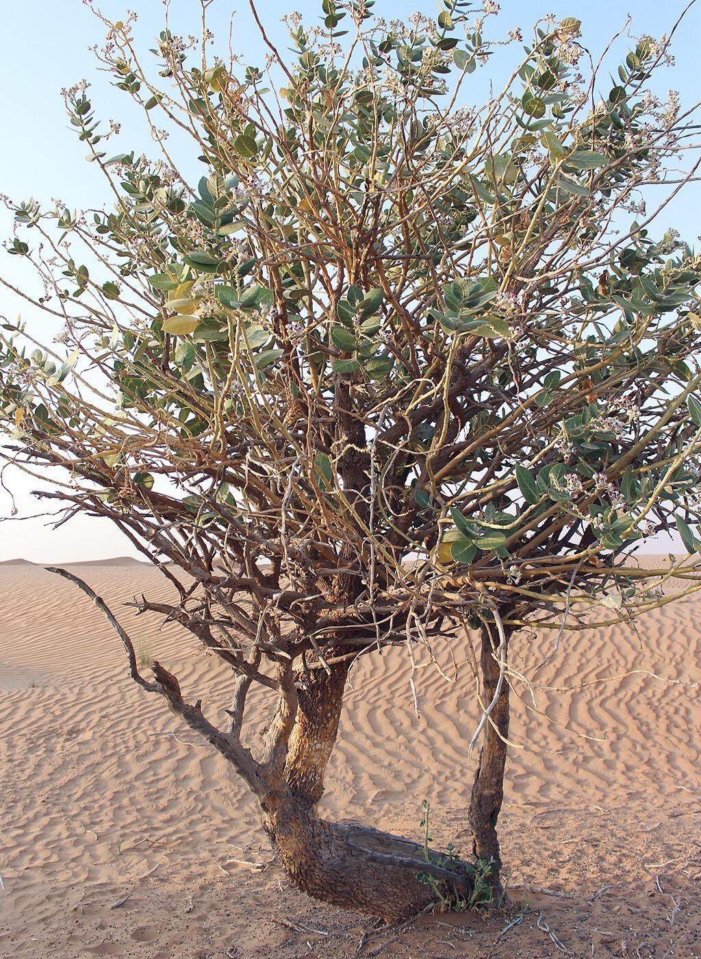 Dubai Wüste Baum Natur