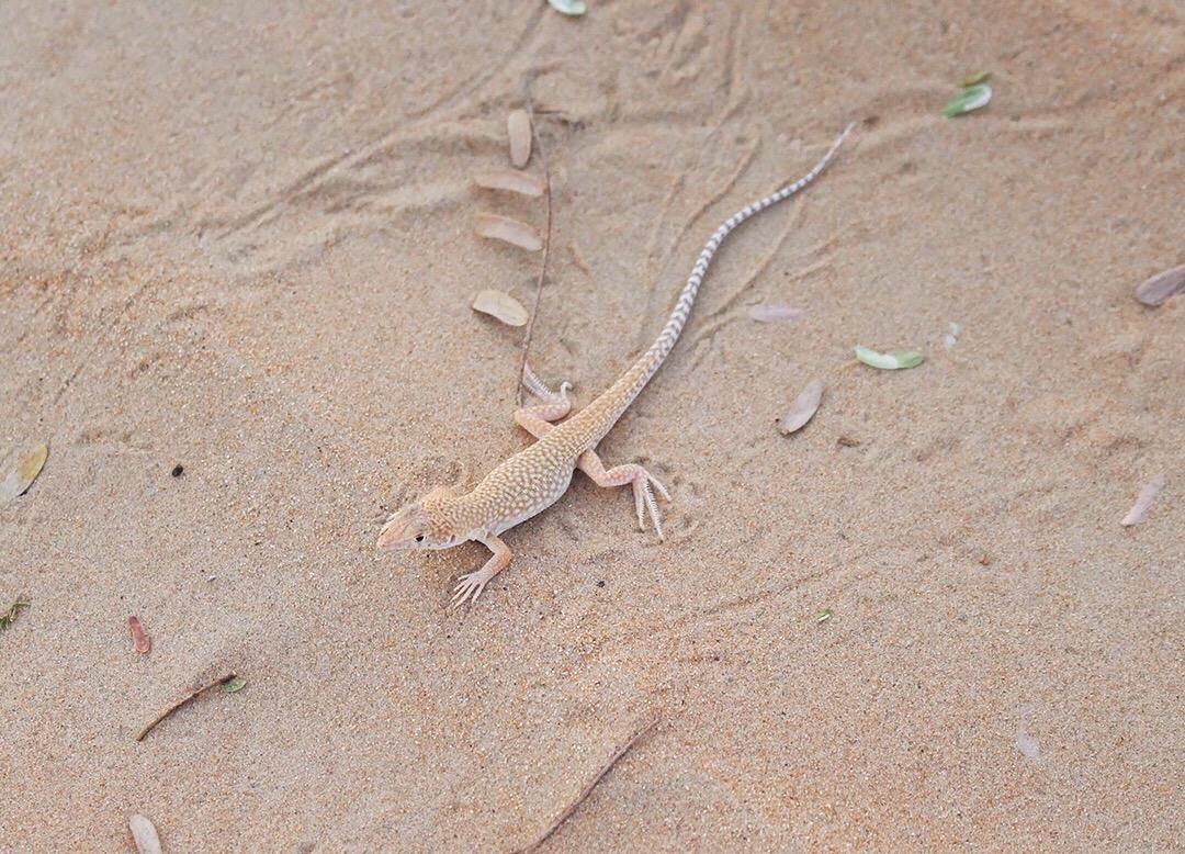 Eidechse Dubai Wüste