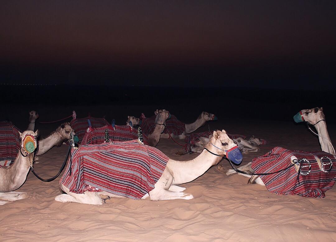 Kamelreiten Dubai Wüste