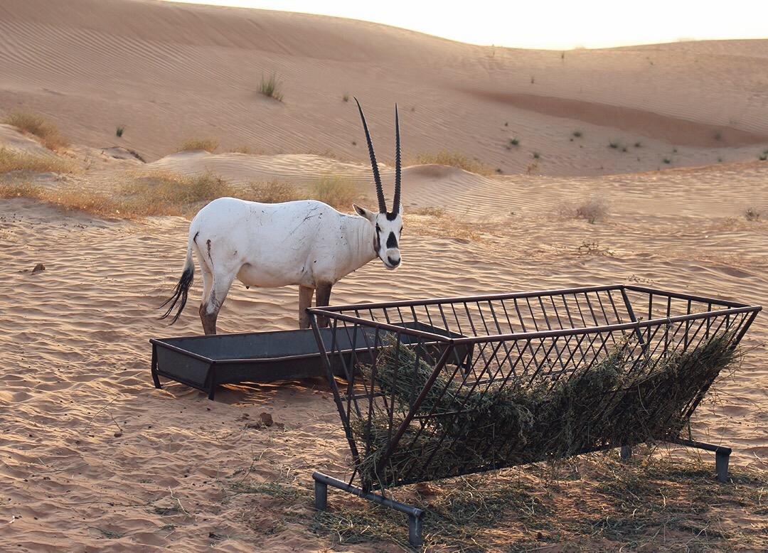 Oryxantilope Dubai Desert